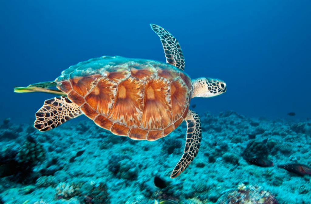 Tartarughe marine il 99 degli esemplari di chelonia for Temperatura tartarughe
